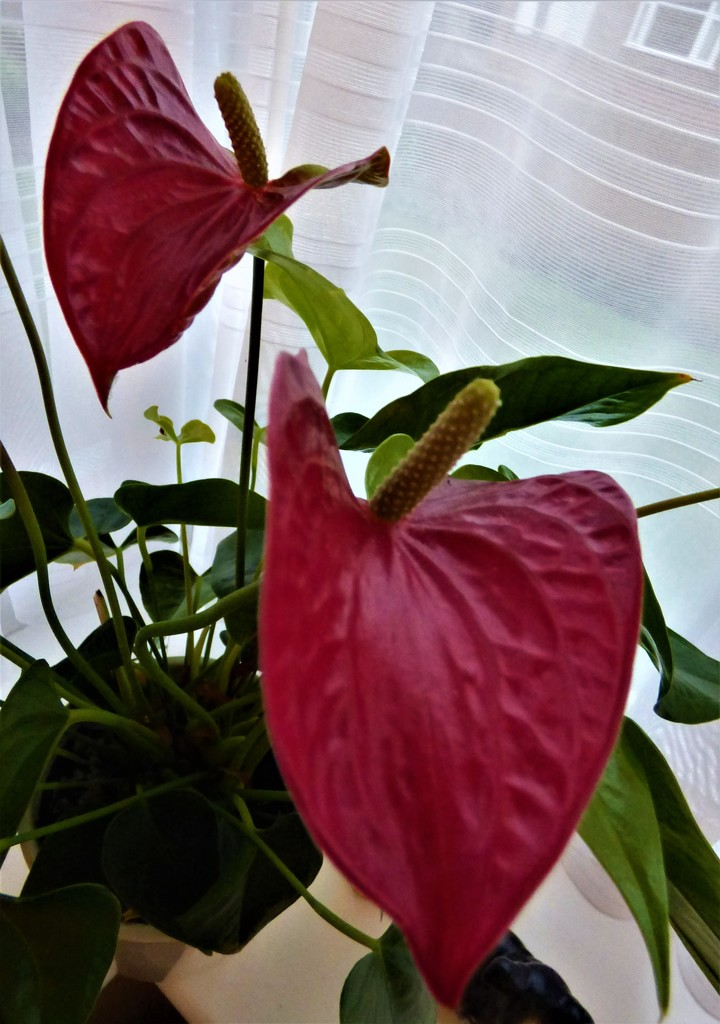 Anthurium by beryl