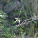 White fuchsia heath