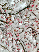 16th Jan 2021 - Pink flowers and snow.