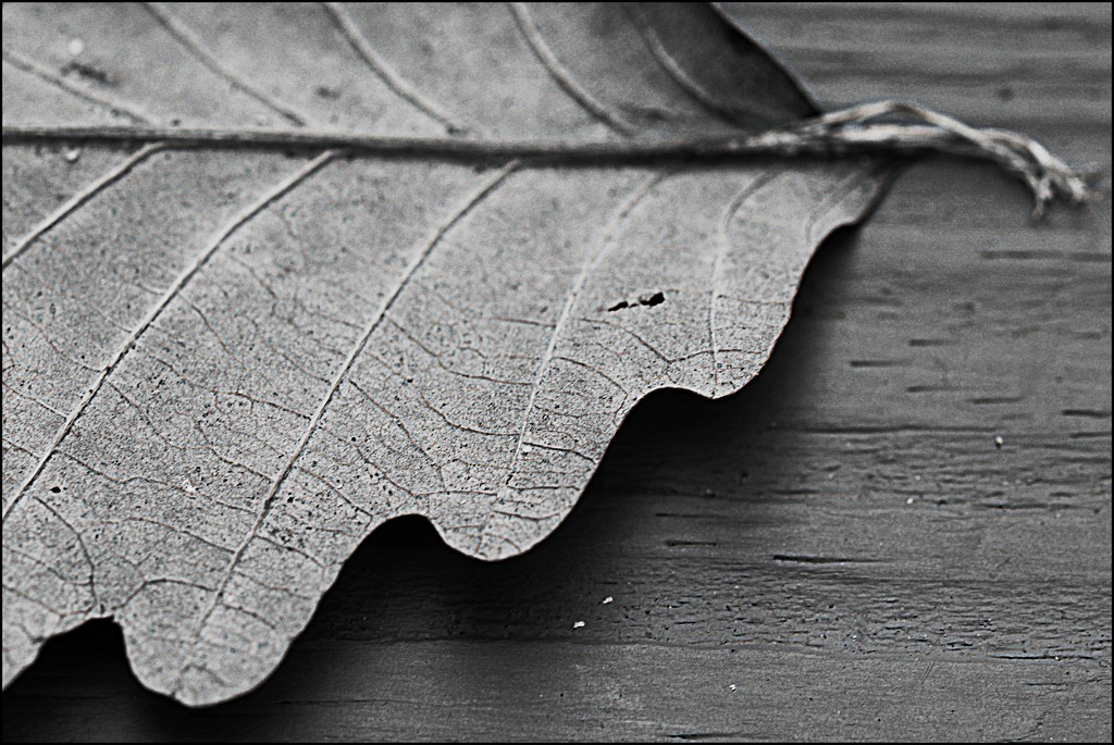 Scalloped Leaf by olivetreeann