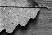 13th Jan 2021 - Scalloped Leaf