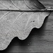 Scalloped Leaf