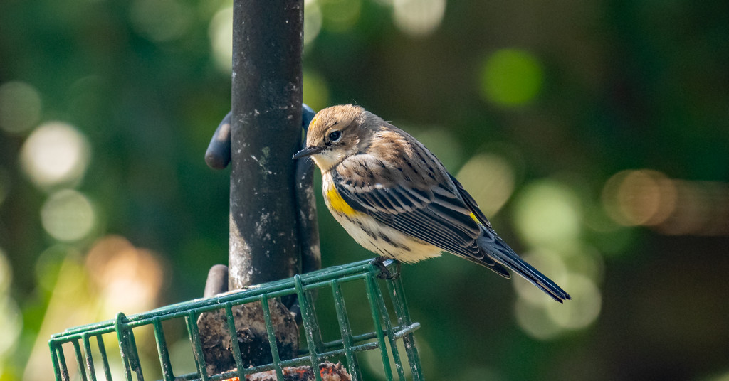 Yellow-rumped Warbler, I Think! by rickster549