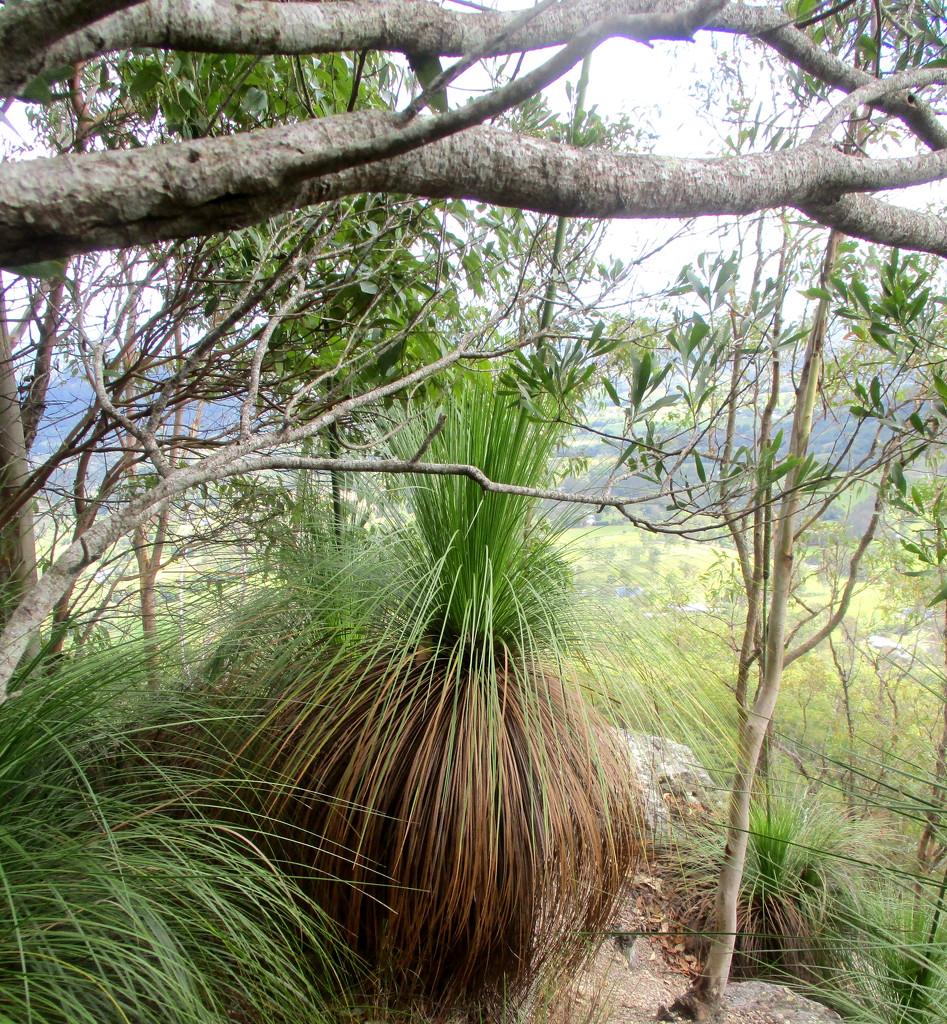 Flourishing Grass trees by 777margo