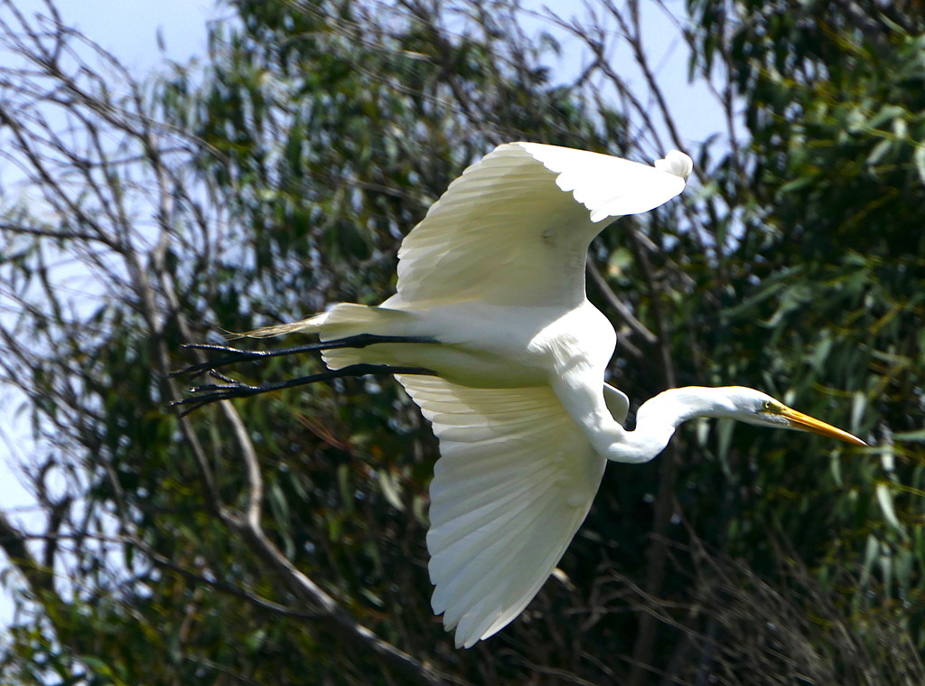 Great Egret on the Wing by redy4et