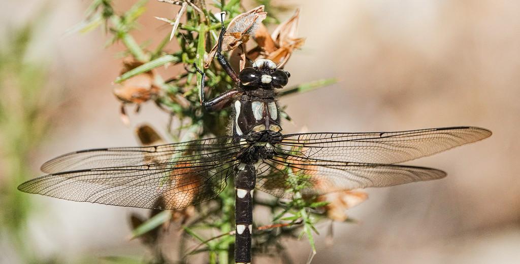 Uropetala carovei  - giant New Zealand drgaonfly by maureenpp