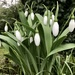 First snowdrops 2021