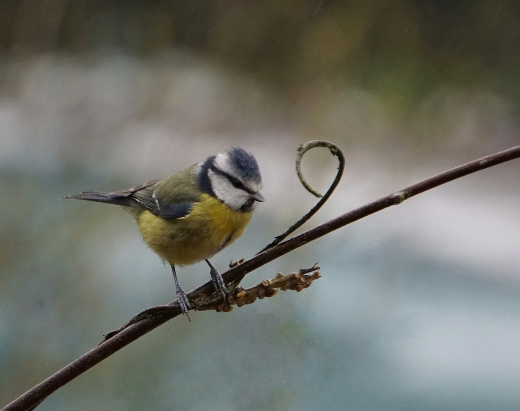 Another day, another blue tit  by lucycameron