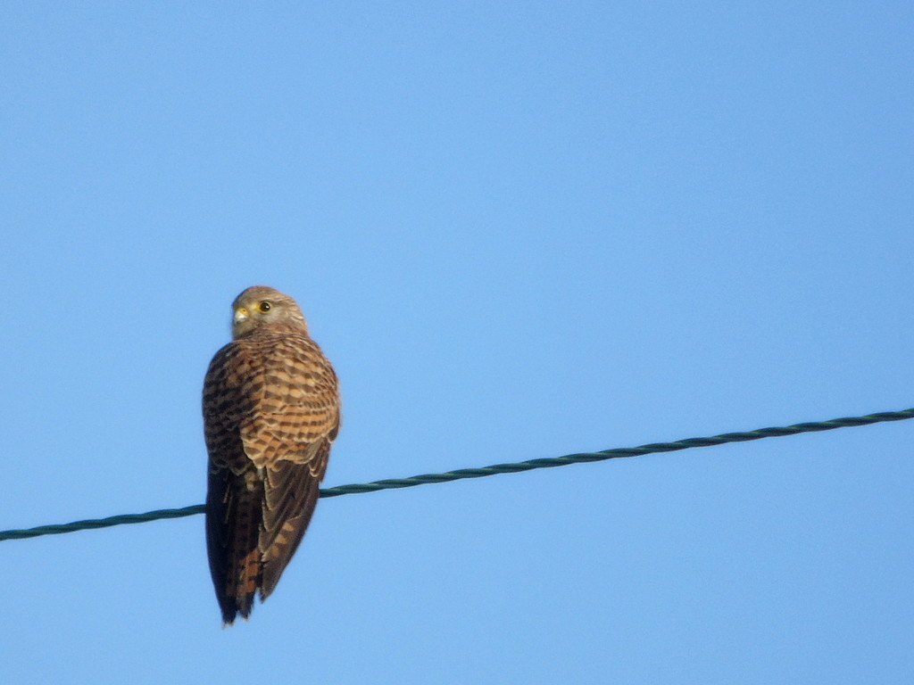 Kestral 1 by bulldog