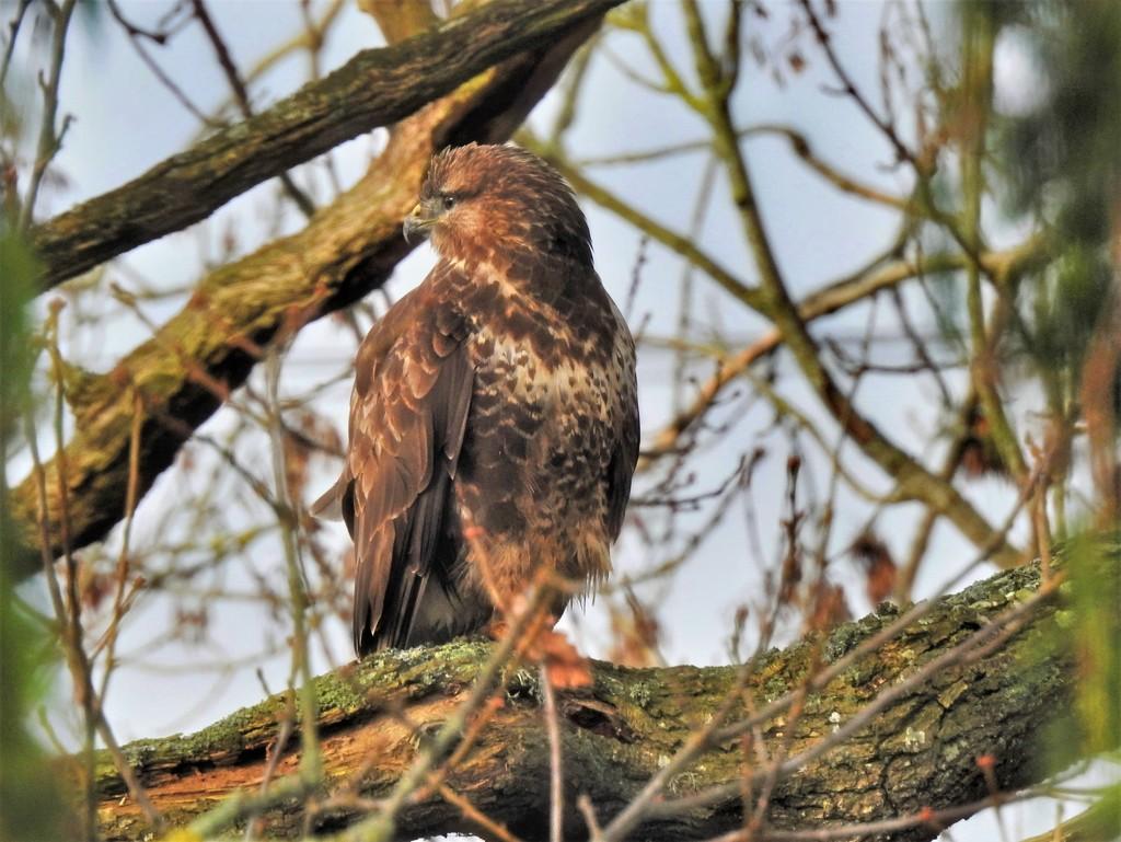 Buzzard in the Oak Tree  by susiemc