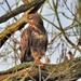 Buzzard in the Oak Tree