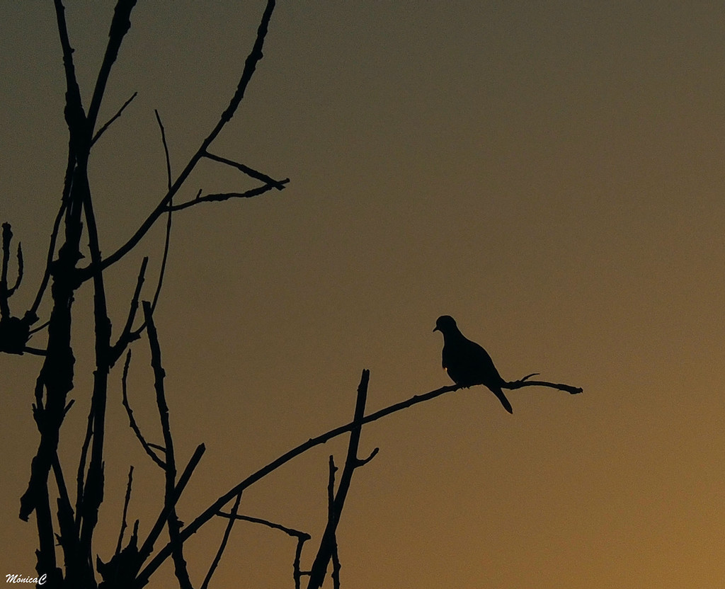 Lonely dove by monicac