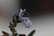 16th Jan 2021 - Rosemary
