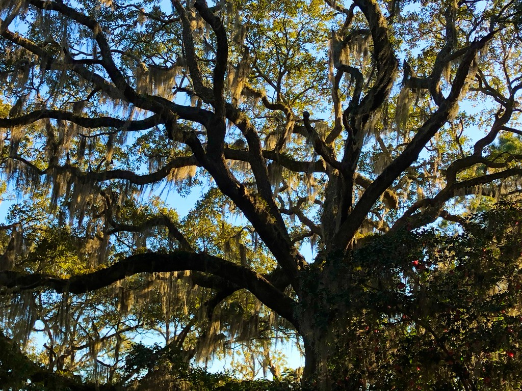 The wonders of a live oak by congaree