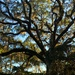 The wonders of a live oak