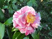 16th Jan 2021 - Camellia