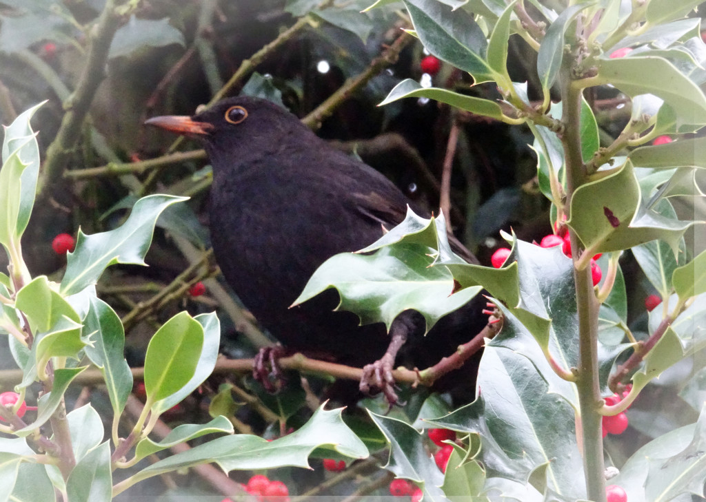 Blackbird by bybri