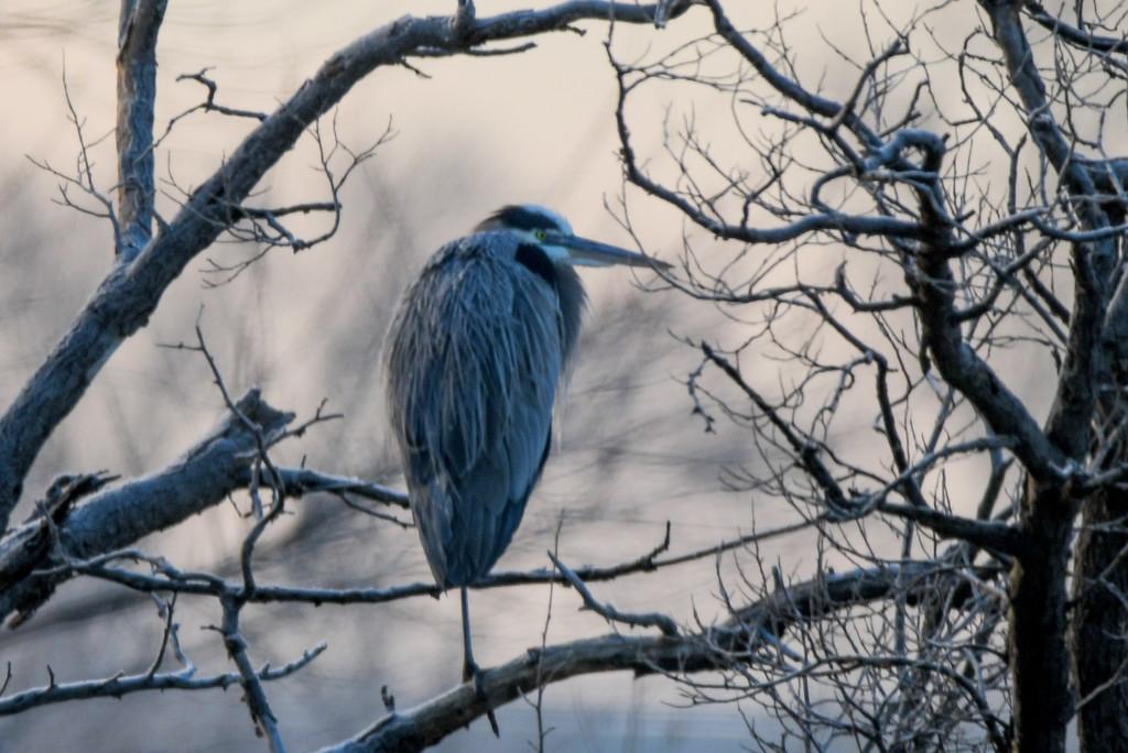 Blue Heron on Branch by kareenking