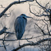 Blue Heron on Branch
