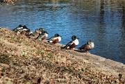 16th Jan 2021 - All My Ducks in a Row