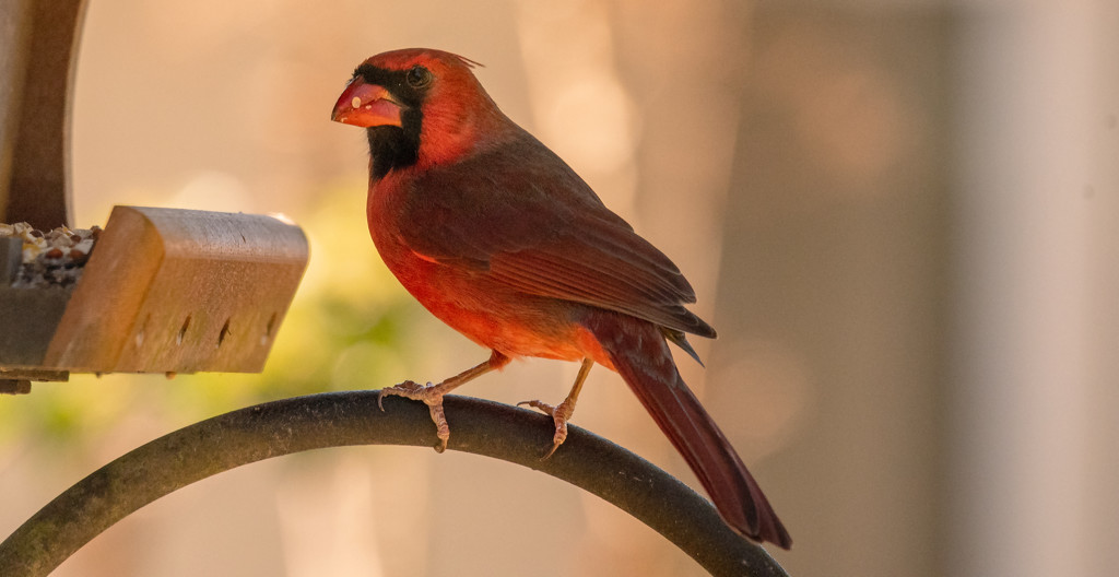 Mr Cardinal at the Feeder! by rickster549