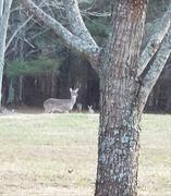 15th Jan 2021 - Deer