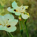 Dietes bicolor or Wood iris