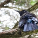 Tui in the treetops