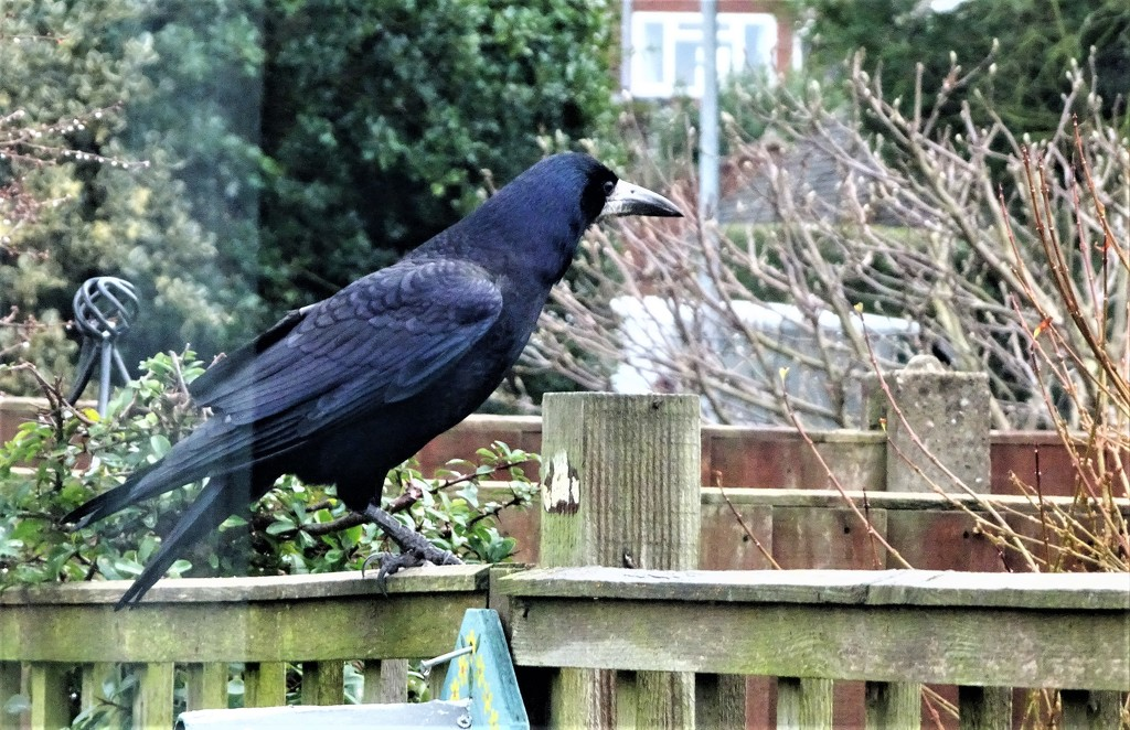 A crow or a rook !! by beryl