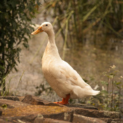 11th Jan 2021 - white duck