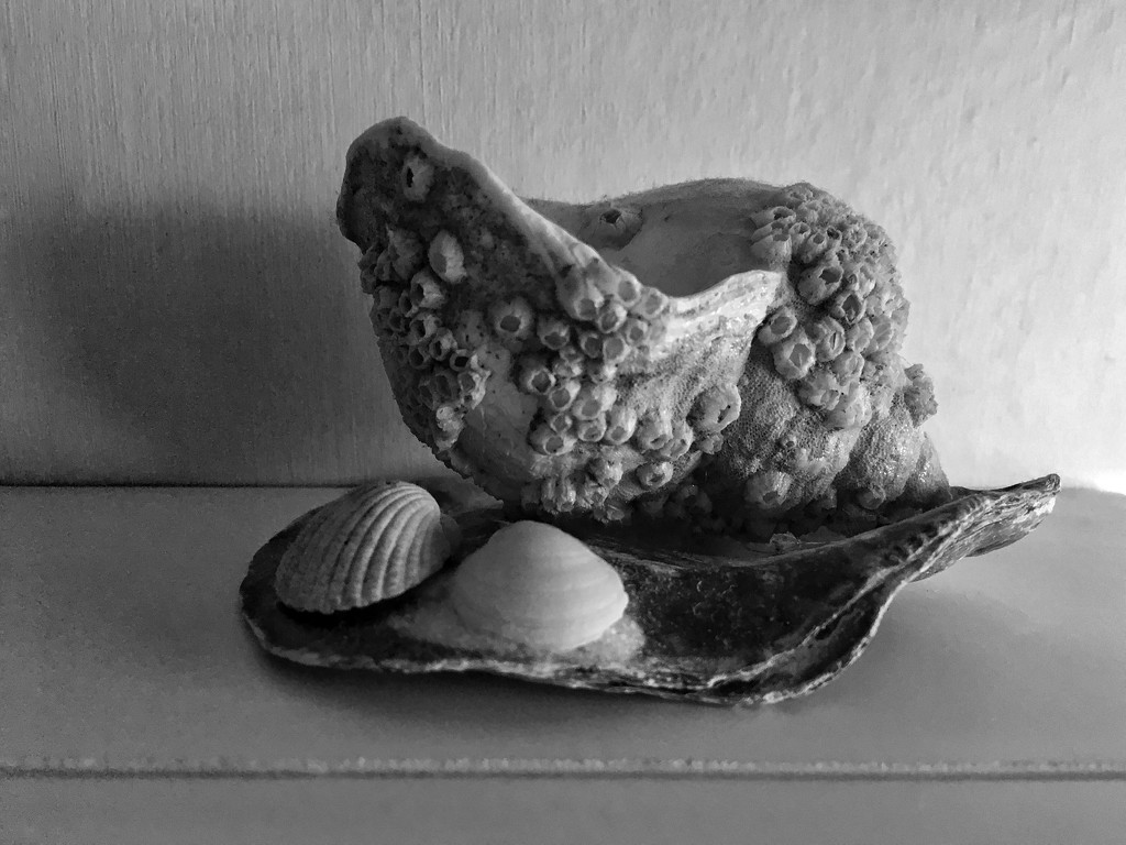 Whelk shell by pattyblue