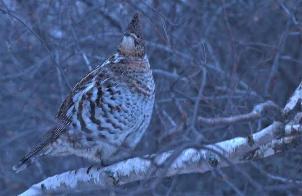 Partridge in a......... tree! by radiogirl
