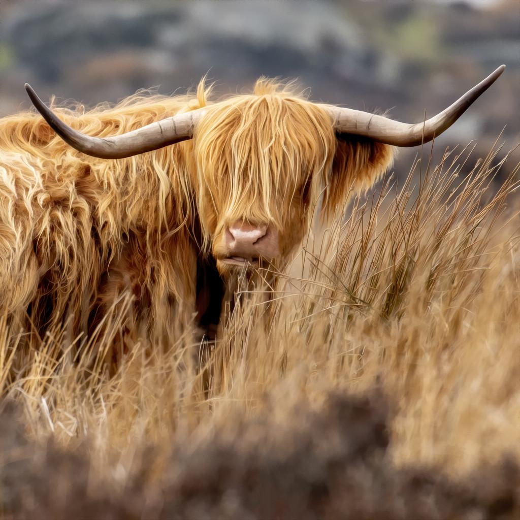 Highland Coo by shepherdmanswife