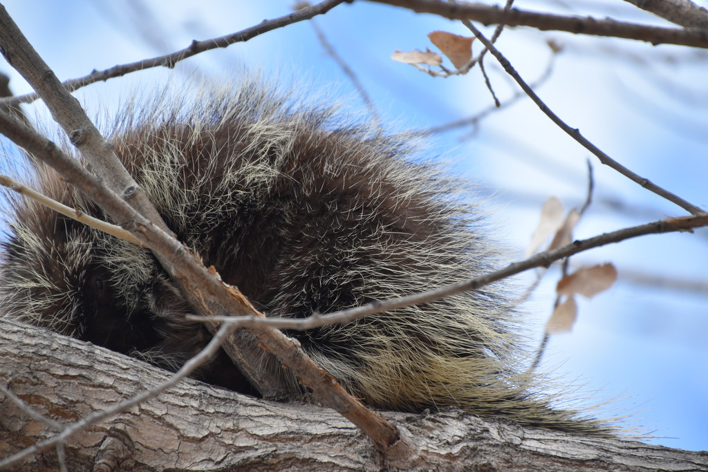 Porcupine Time Of The Year. by bigdad