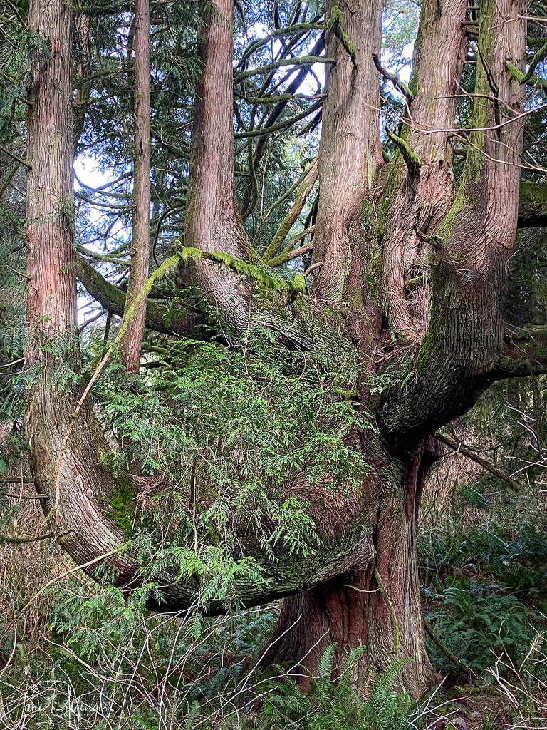 Great Grandmother Cedar  by jgpittenger