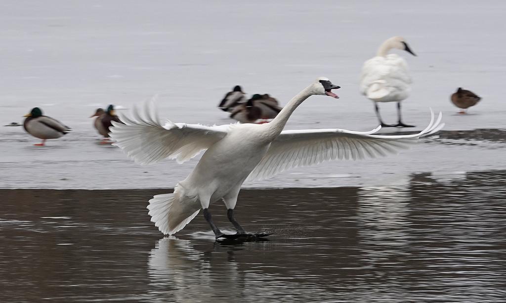 Trumpeter Swan Landing by annepann