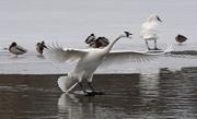 8th Jan 2021 - Trumpeter Swan Landing