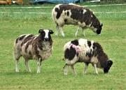 15th Jan 2021 - Jacobs sheep