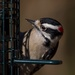 Up close with Mr. Downy Woodpecker