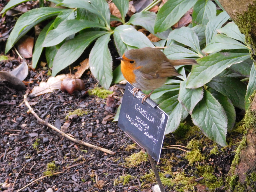this is a robin by anniesue