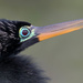 Anhinga with breeding plumage