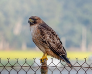 17th Jan 2021 - Portrait of a Red-tail