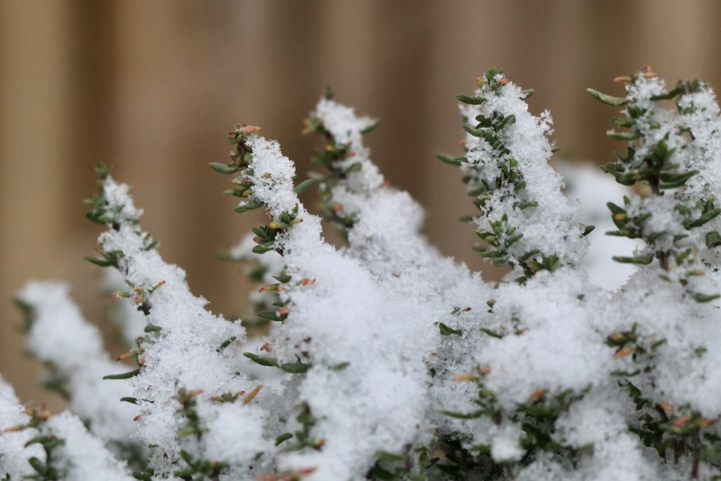 Snow on thyme by momamo