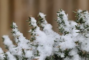 17th Jan 2021 - Snow on thyme
