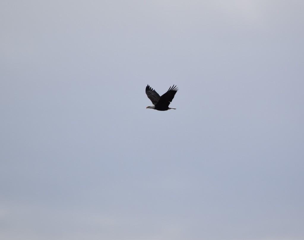 Bald Eagle Flying Up The Rio Grande. by bigdad