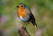 18th Jan 2021 - ANOTHER ROBIN IMAGE