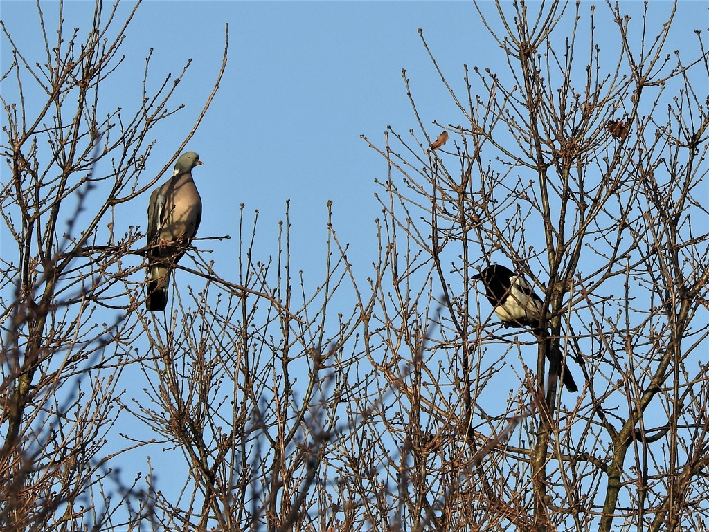 Wood Pigeon and Magpie by oldjosh