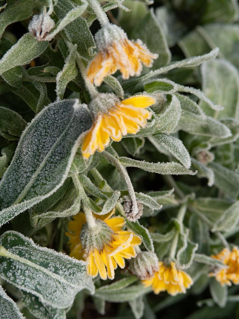 Frosty marigolds by josiegilbert