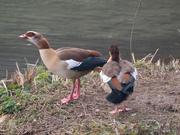 18th Jan 2021 - geese