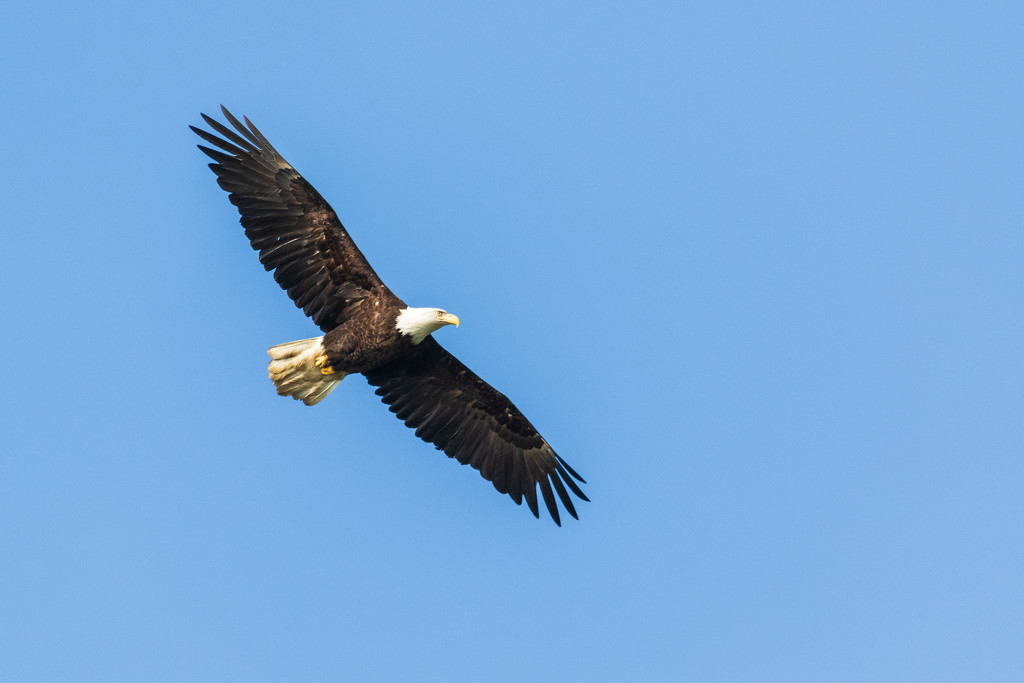 Eagle in Flight by photograndma